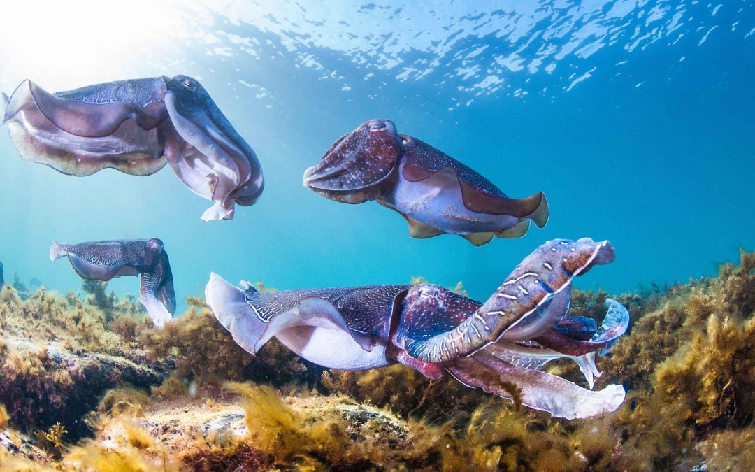 Migration of Giant Cuttlefish
